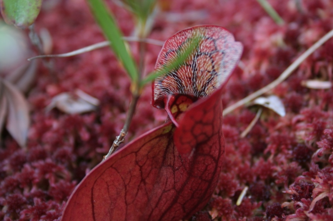 crimson pitcher plant