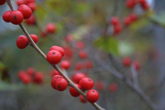 red berries from the bog