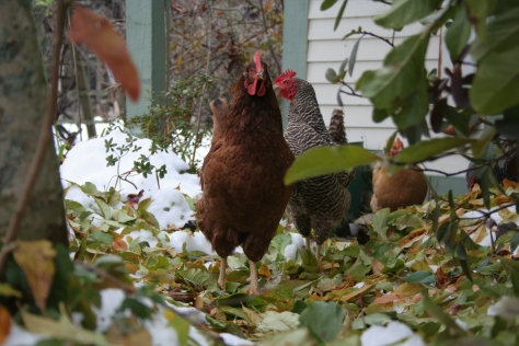 snow storm damage in maine chickens