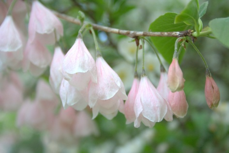 pink silver bells tree flowering