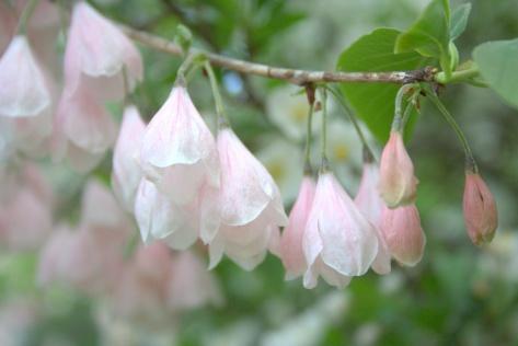 pink silver bells tree flowering