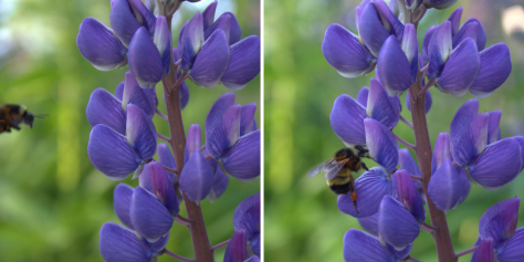 busy bee on lupine