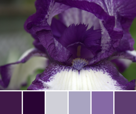 purple iris color palette