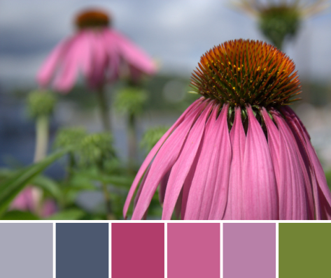 purple cone flower echinacea color palette