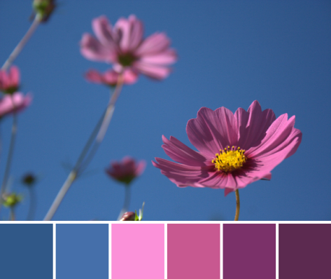 cosmos color palette flower magenta pink blue
