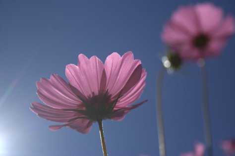 cosmos flowers pink against blue