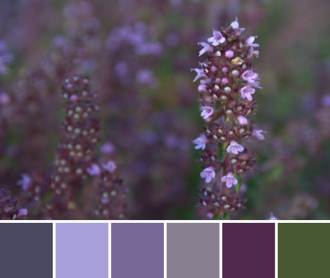 creeping thyme purple color palette