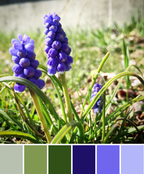 grape hyacinth color palette spring maine