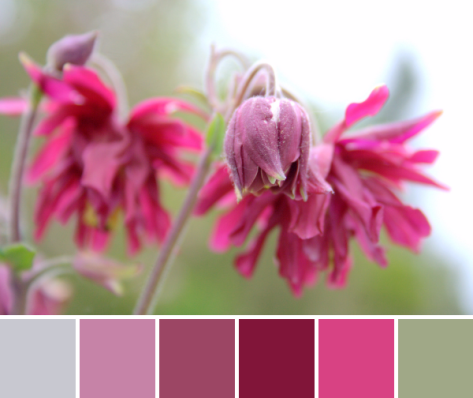 columbine flower pink red color palette