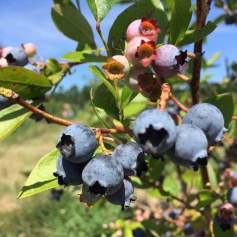 organic you pick blueberries at North Branch Farm