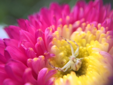 hiding spider in flower